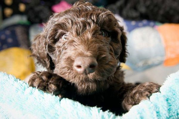 The Advantages Of Hypoallergenic Dog Breeds