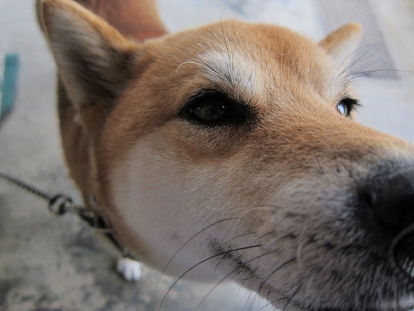 What You Get With A Shiba Inu Dog