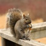 How Can Professional Squirrel Removal Service Help Homeowners?