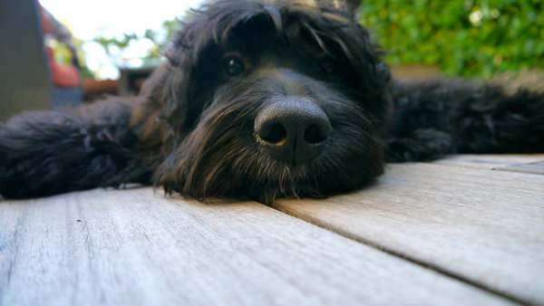 Mini Bernedoodle- A Strange Name For A Great Dog
