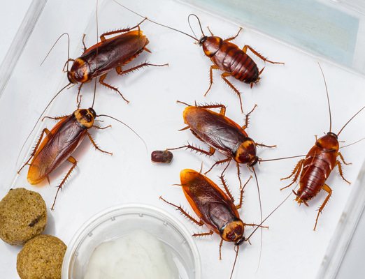 Tips On Health Hazards And Preventive Measures From Roaches