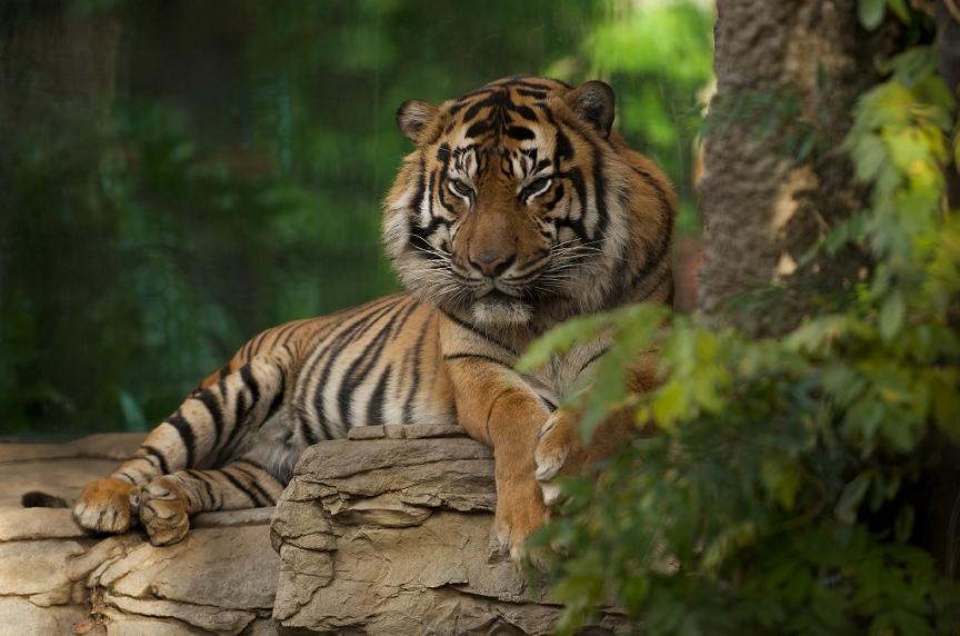kerala tigers